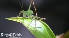 Baby Bush Cricket species (Phaneropterinae)