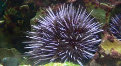 Scientists have recently discovered a biodegradable material from the sea urchin spines to treat and repair several bone problems.