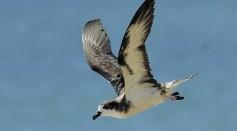 First Flight: Hawaiian Petrels Journey to Safety