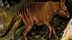 Tasmanian tiger (Thylacinus cynocephalus) has been reportedly sighted prompting search for proof.