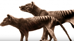 Tasmanian Tiger Back From The Dead!? 5 Weird Animal Facts