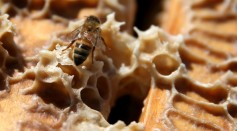 Honey Bees Play A Significant Role In Pollination And Food Production But Their Colonies Are Being Threatened By Humans