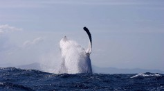 A TOTAL OF 47 HUMPBACK WHALES HAVE BEEN TAGGED BY SCIENTISTS TO TRACK THEIR MOVEMENTS IN BREEDING AREAS