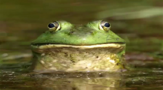 Researchers use frog mucus: to fight the human influenza virus H1N1.