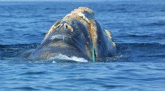 FEMALE RIGHT WHALE WAS FOUND DEAD IN CAPE COD BAY, SUSPECTED TO BE A VICTIM OF SHIP COLLISION