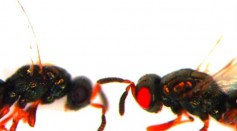 Scientists were mentioned to successfully produced red-eyed wasps from its original black eyes.