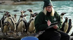 A keeper poses with Humboldt Penguins during a photocall at ZSL, London Zoo's annual 'Stocktake' on January 3, 2017 in London, England.