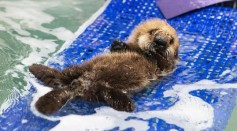 While pup 681 can't yet dive because her pup fur makes her too buoyant, she has learned to use her rear flippers for swimming.