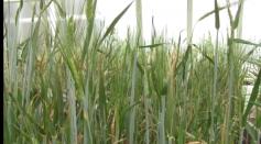Scientists Map Barley Genome