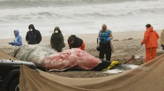 One of the death humpback whale washed ashore on Rockaway Beach on April 5, 2017 in the Queens borough of New York City.