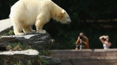Columbus Zoo and Aquarium in Ohio has resolved to euthanize their polar bear due to its liver cancer.