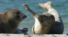 Deaf seals are now under evaluation on how they would react to their hearing loss with respect to populace and habitat.