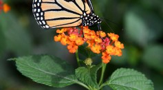 A monarch butterfly rests on a flower at the Butterfly Habitat at The Springs Preserve on October 16, 2016 in Las Vegas, Nevada