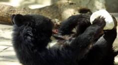 Asiatic Black bear in a Kabul zoo.