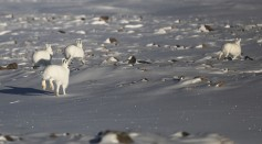 Snowshoe hares, one of the animals in the Arctic is spotted near Thule Air Base on March 25, 2017 in Pituffik, Greenland.