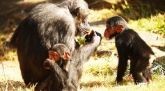 A family of Chimpanzees eat and play at Taronga Zoo on Dec. 4, 2015 in Sydney, Australia.