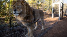 One of the 33 Lions enjoys his new enclosure at the Emoya 'Big Cat Sanctuary' on May 02, 2016 in Vaalwater, South Africa