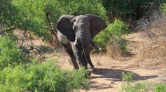 The African elephant in Kenya appears from the bush after tranquilized to put on tracking device on March 24, 2016 in Lewa, Kenya.