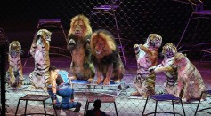 Big Cat Trainer and Presenter Alexander Lacey performs on the final day of the Ringling Bros Barnum and Bailey Circus on May 21, 2017 in Uniondale, New York