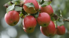 Breuhahn apples hang from a tree at the Apfelhof Waehnert apple farm in Hoppenrade on October 14, 2016 near Loewenberg, Germany