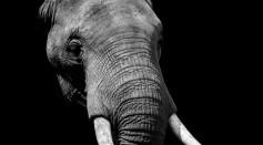 Elephant with tusk