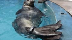 UCSC Monk Seal KE18
