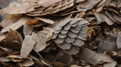 Close-up of confiscated pangolin scales.