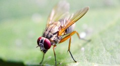 New Study Shows Male Flies Manipulate Female Partners in Mating Interactions