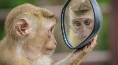 Monkey Mirror Stare