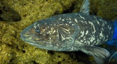 New Insights into Coelacanth and the Evolution of the Vertebrate Skull