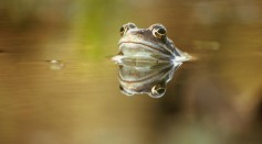 Severe Infectious Disease in UK Frogs Due to Climate Change