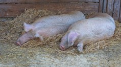 2 Pigs
