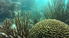 Symmetrical brain coral is highly susceptible to SCTLD