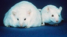 Fat mouse vs. thin mouse