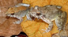 New Fanged Frog Species That Give Live Birth to Tadpoles