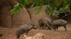 Vasayan warty pig