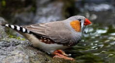 A new biological technique called optogenetics has taught zebra finches how to sing songs they've never heard.