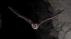 A common vampire bat (Desmodus rotundus)
