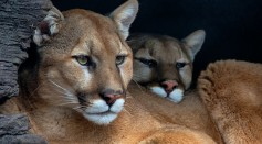 Mountain Lions Face Another Threat as Dire as Habitat Loss