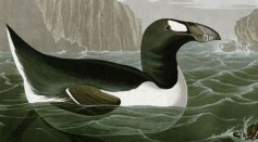 Humans Caught Red Handed as the Killers of the Great Auk