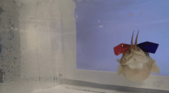 Cuttlefish in 3D Glasses