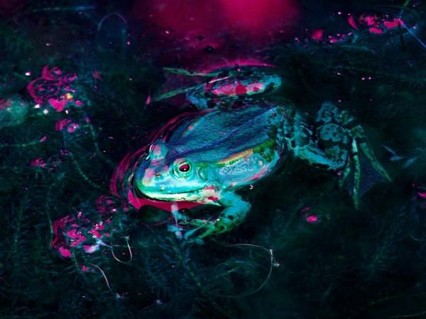 Luminescent frog