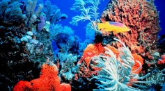 Scientists say, coral reefs are struggling