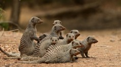 Study on Banded Mongoose Presents How its Environment Influences the Spread of Infectious Disease
