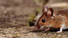 Based on the report of CDC, hantavirus has 'rare cases' and that they spread because of saliva or droppings, and close contact with rodent urine
