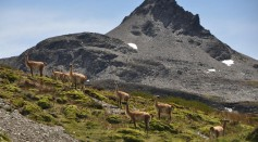 Guanacos in Chilean Patagonia. One of the last remaining wilderness areas left in the region.