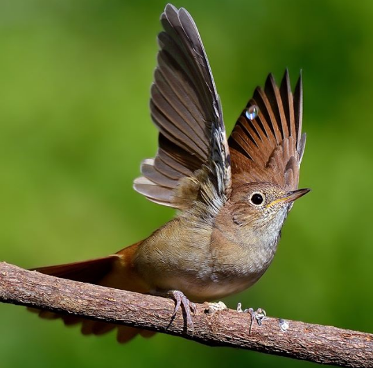 Beautiful Songbird 'Wings of Nightingale' Faces Risk of Extinction ...