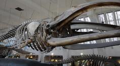 Bowhead whale skeleton