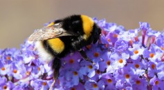 No Pollen? No Problem! Bees Puncture Plant Leaves To Accelerate Flower Production