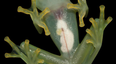 Glass Frog Study is Reminding us to Capitalize on Making a Greener World Today
